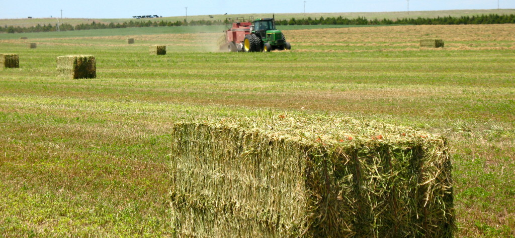 alfalfa-hay-in-field-baler